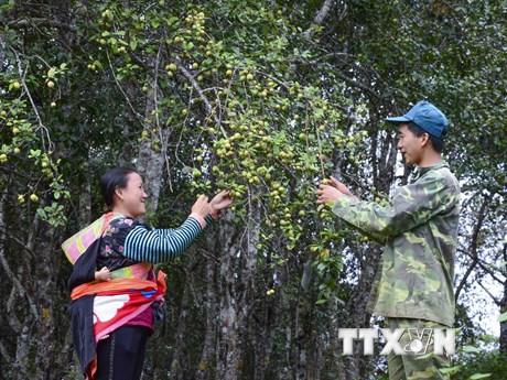 [Photo] Cùng ngắm mùa táo mèo trên đỉnh đèo Pha Đin