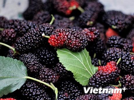 [Photo] Dâu tằm vào mùa thu hoạch, chín đỏ vùng ven Hà Nội
