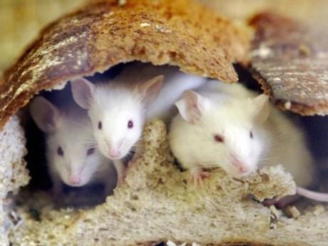 Argentina: Cảnh sát làm mất nửa tấn cần sa, đổ lỗi cho chuột nghiện