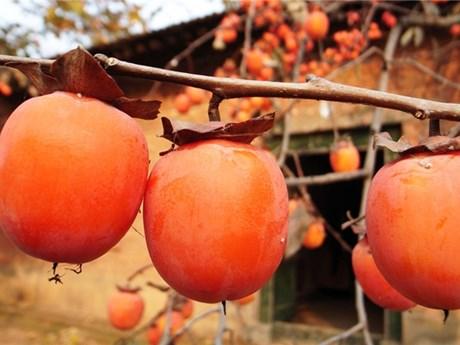 [Photo] Mê mẩn với những trái hồng chín mọng mỗi độ Thu về