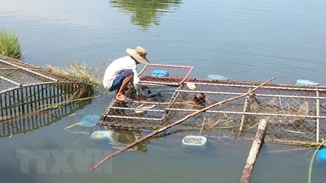 Thừa Thiên-Huế: Cá lồng nuôi chết hàng loạt do nguồn nước bị thay đổi - ảnh 1