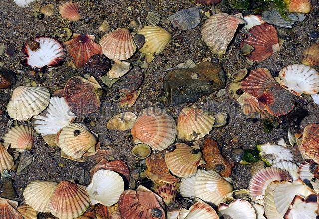 Loài sò Saint-Jacques sở hữu kính viễn vọng đặc biệt - ảnh 1