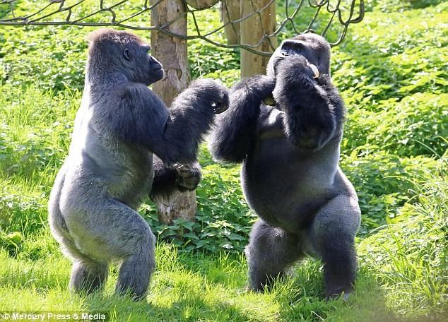 [Video] Hai con khỉ đột đấu quyền anh để tranh giành thức ăn - ảnh 1