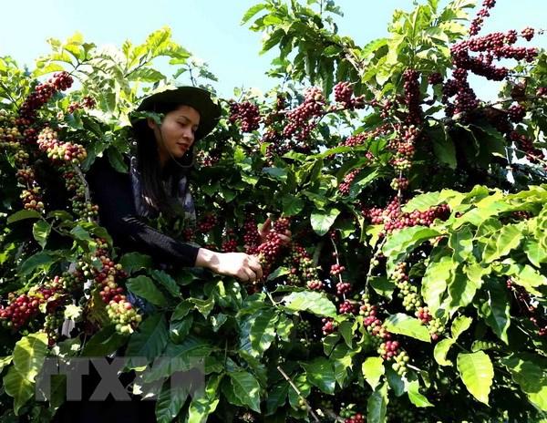 Càphê Việt Nam có chất lượng nổi tiếng thế giới. (Ảnh: Vũ Sinh/TTXVN)