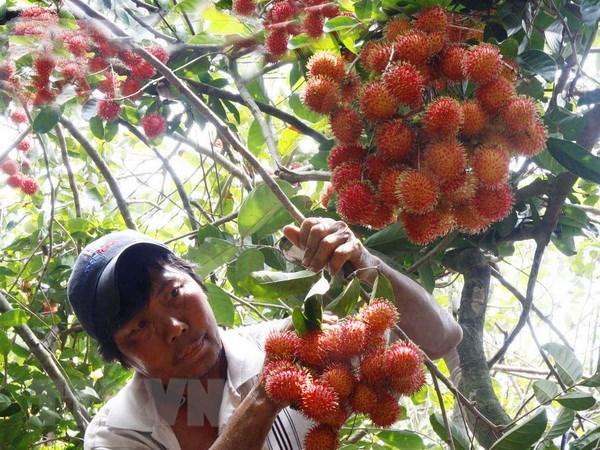 Người nông dân thu hoạch chôm chôm. Ảnh: Đình Huệ/TTXVN