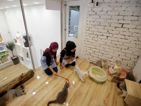 Nhân viên chăm sóc và chơi cùng với mèo tại một phòng siêu sang của khách sạn Catzonia, Malaysia. (Nguồn: EPA/TTXVN)