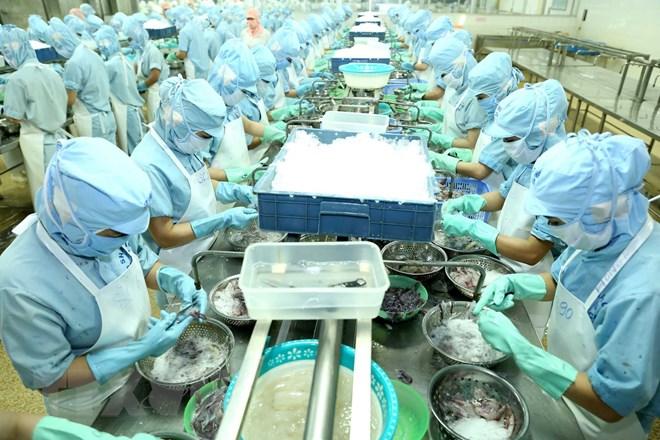 Chế biến cá mực Sashimi xuất khẩu. Ảnh: Vũ Sinh/TTXVN